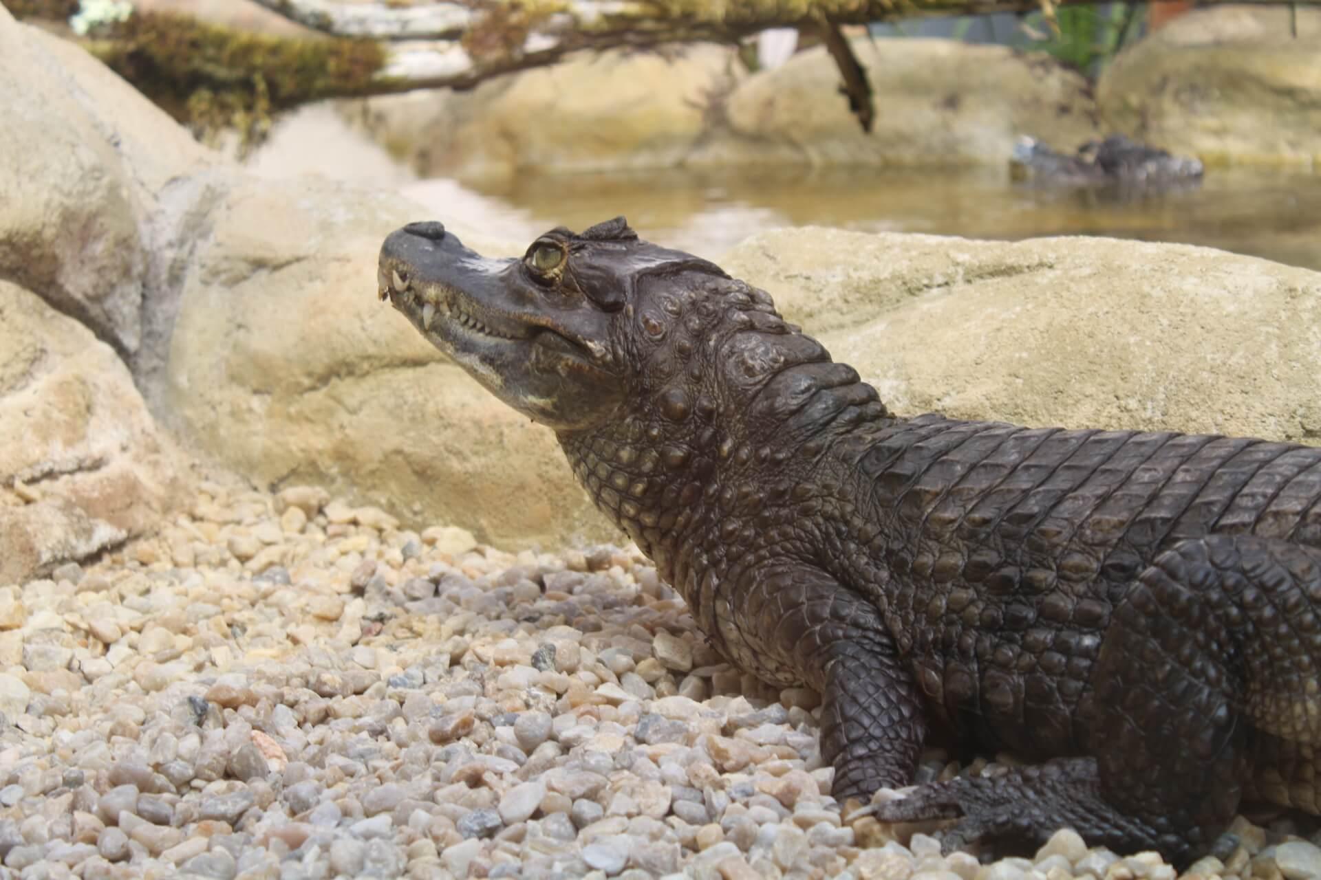 Caïman crocodilus - Padiparc