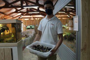 Récolte d'oeufs de caïman crocodilus (Caïman à lunettes) à Padiparc