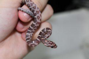 Serpent des blés juvénile en main d'un soigneur de Padiparc